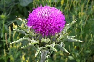 Efficacy and effects of milk thistle extract